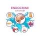 Human Endocrine System Vector Illustration - GraphicRiver Item for Sale