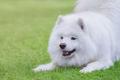 Samoyed dog wants to play. - PhotoDune Item for Sale