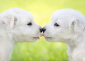 Two white puppies kissing each other. - PhotoDune Item for Sale