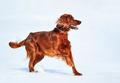 Dog breed Irish Red Setter. - PhotoDune Item for Sale