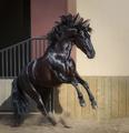 Beautiful black Andalusian horse play in paddock. - PhotoDune Item for Sale