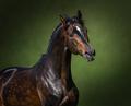 Portrait of Orlov-Rostopchin horse on green background. - PhotoDune Item for Sale