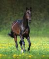 Beautiful bay horse running in meadow. - PhotoDune Item for Sale