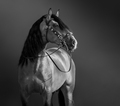 Black-and-White portrait of Andalusian Horse. - PhotoDune Item for Sale