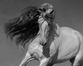 Black-and-white portrait of white Spanish horse with long mane. - PhotoDune Item for Sale