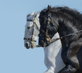 Portrait of two Andalusian horses in motion. - PhotoDune Item for Sale