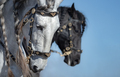 Close-up portrait of two Andalusian horses in motion. - PhotoDune Item for Sale