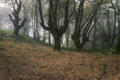 Huge oak trees of imposing appearance in a misty forest - PhotoDune Item for Sale