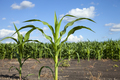 Young corn plants isolated against a corn field and blue sky in rural Minnesota - PhotoDune Item for Sale