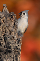 Tufted Titmouse - PhotoDune Item for Sale