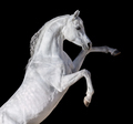 White Arabian horse rearing up. - PhotoDune Item for Sale