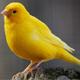 Canary - AudioJungle Item for Sale