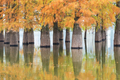 beautiful dawn redwood forest in lake - PhotoDune Item for Sale