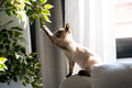 Little siamese kitten sitting on couch under green plant and playing with paw at home. - PhotoDune Item for Sale