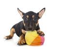puppy Miniature Bull Terrier - PhotoDune Item for Sale