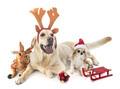 labrador retriever and chihuahua - PhotoDune Item for Sale