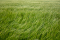 Wind In A Wheat Field - PhotoDune Item for Sale