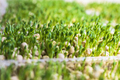 Sprouts of peas vegetable, microgreen. - PhotoDune Item for Sale