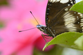 Tropical colorful butterfly among pink and yellow camellia flowers. - PhotoDune Item for Sale