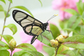 Tropical glasswing butterfly among pink and yellow camellia flowers. - PhotoDune Item for Sale