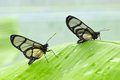 Tropical glasswing butterfly among green banana leaves.. - PhotoDune Item for Sale