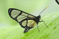 Tropical glasswing butterfly among green banana leaves - PhotoDune Item for Sale