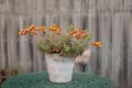 Flowering Succulent - PhotoDune Item for Sale