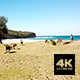 Kangaroos Chilling At Pebbly Beach - VideoHive Item for Sale
