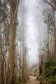 Eucalyptus forest engulfed in fog - PhotoDune Item for Sale