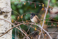 Dark Eyed Junco - PhotoDune Item for Sale