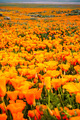 Fields of California Poppy - PhotoDune Item for Sale