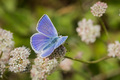 Anna's Blue (Plebejus anna) butterfly - PhotoDune Item for Sale