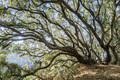 Coastal live oak - PhotoDune Item for Sale