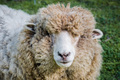 Woolly sheep - PhotoDune Item for Sale