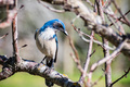 California Scrub Jay - PhotoDune Item for Sale