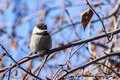 Chestnut-backed chickadee - PhotoDune Item for Sale