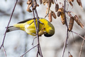 Male Lesser Goldfinch - PhotoDune Item for Sale