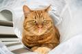 Large orange cat posing for the camera while in a cat tunnel - PhotoDune Item for Sale