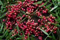 branches of wild pepper - PhotoDune Item for Sale
