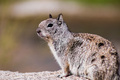 Close up of California Ground Squirrel (Otospermophilus beecheyi) - PhotoDune Item for Sale