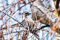 Female Nuttall's Woodpecker - PhotoDune Item for Sale