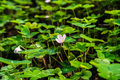 Redwood sorrel flower and leaves (Oxalis oregana) - PhotoDune Item for Sale