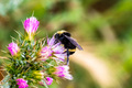 Bumble bee pollinating a Slender Thistle (Carduus tenuiflorus) flower - PhotoDune Item for Sale