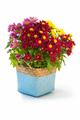 colorful chrysanthemum in flower basket - PhotoDune Item for Sale