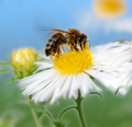 Bee collecting nectar at a white aster blossom - PhotoDune Item for Sale