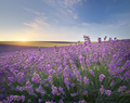 Meadow of lavender at sunrise. - PhotoDune Item for Sale