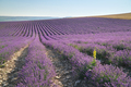 Meadow of lavender at day - PhotoDune Item for Sale