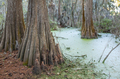 Bald cypress trees, Taxodium Distichum, in swamp in the American South. - PhotoDune Item for Sale