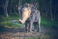 Thailand, riding elephant looks into camera at background of jungle and sand ground. Exotic animal - PhotoDune Item for Sale