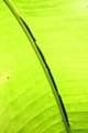 Tropical caterpillars hiding along the center of a banana plant leaf to camouflage - PhotoDune Item for Sale